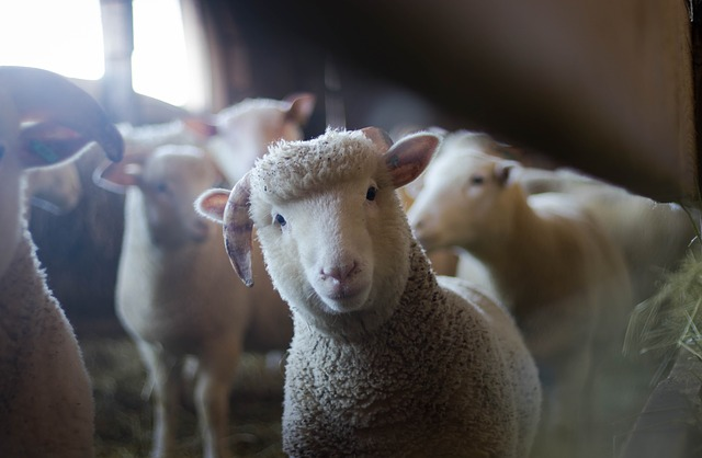 ovce a beran