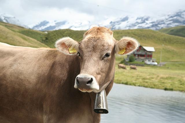 kráva se zvonem