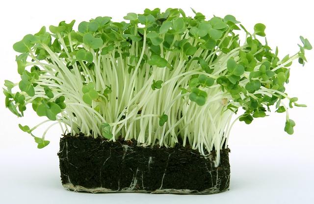 naklíčená semena