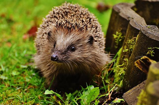 malý ježek